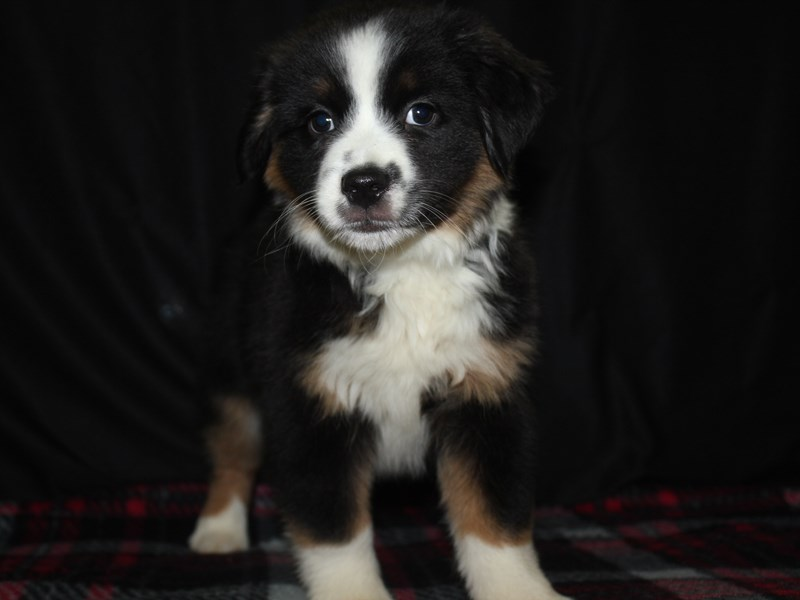 Miniature Australian Shepherd-Male-TRI-1970642-Pet City Houston