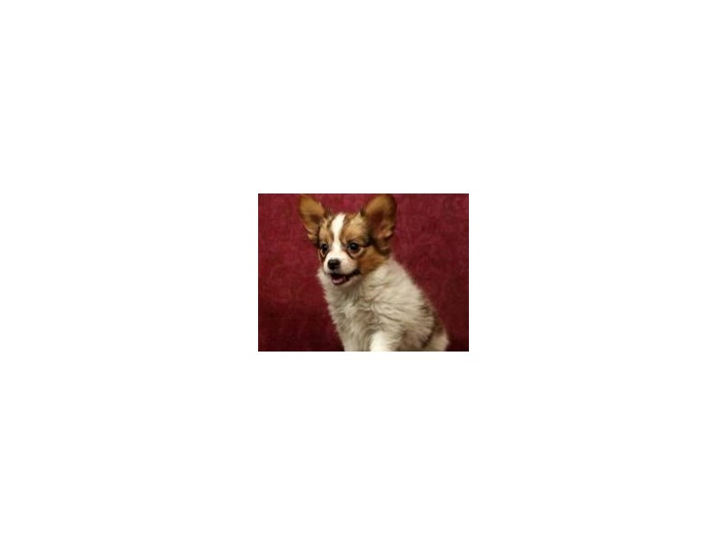 Papillon-Male-Red & White-2352953-Pet City Houston