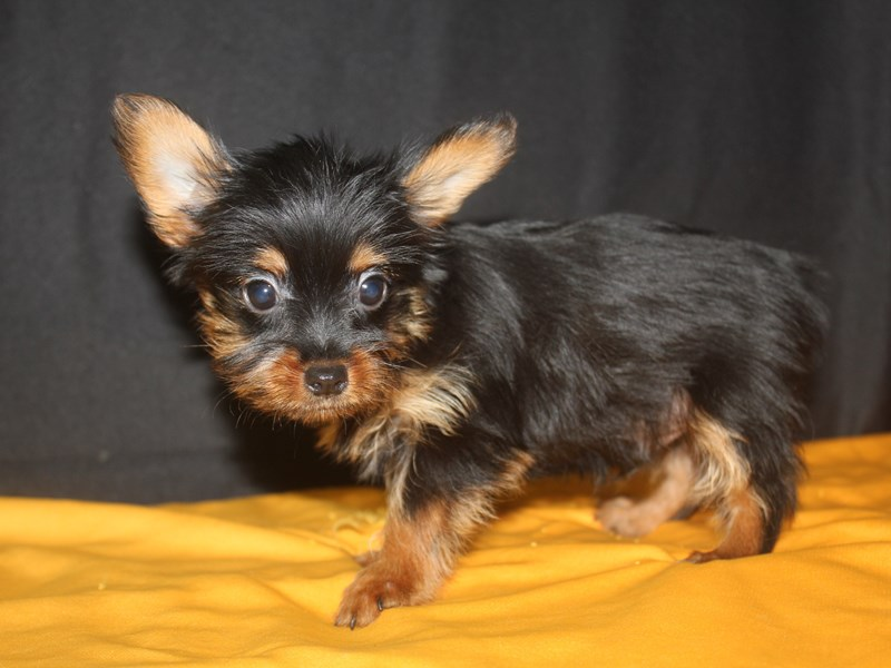 Silky Terrier-Male-blk/tan-1932606-Pet City Houston