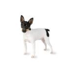 Pet City Houston Toy Fox Terrier