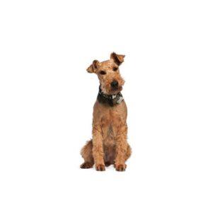 Pet City Houston Airedale Terrier