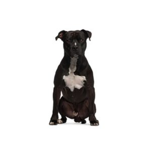 Pet City Houston American Staffordshire Terrier