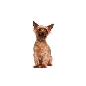 Pet City Houston Australian Terrier
