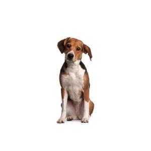 Pet City Houston Beagle