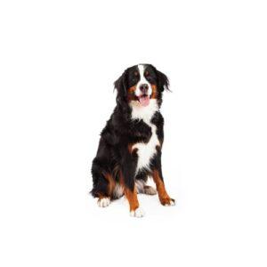 Pet City Houston Bernese Mountain Dog