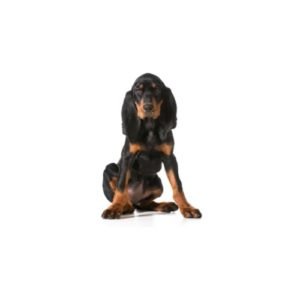 Pet City Houston Black and Tan Coonhound
