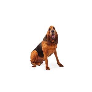 Pet City Houston Bloodhound