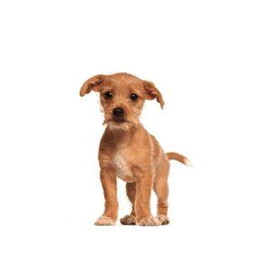 Pet City Houston Border Terrier