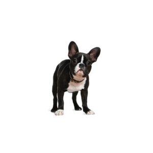 Pet City Houston Boston Terrier