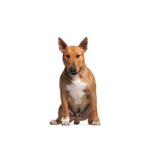 Pet City Houston Bull Terrier