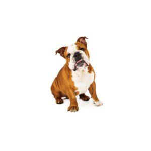 Pet City Houston English Bulldog