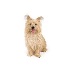 Pet City Houston Cairn Terrier