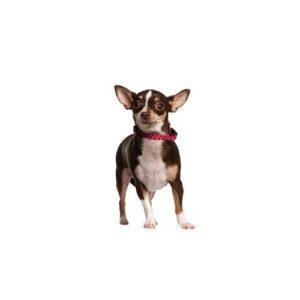 Pet City Houston Chihuahua