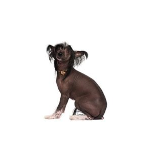 Pet City Houston Chinese Crested