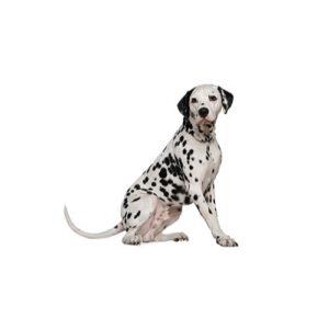 Pet City Houston Dalmatian