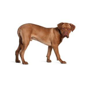 Pet City Houston Dogue de Bordeaux