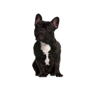 Pet City Houston French Bulldog