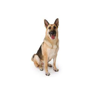Pet City Houston German Shepherd