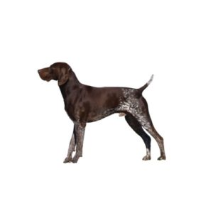 Pet City Houston German Shorthaired Pointer