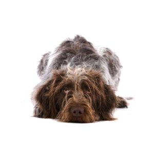 Pet City Houston German Wirehaired Pointer