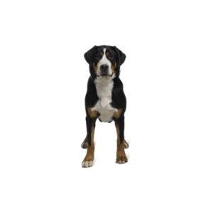 Pet City Houston Great Swiss Mountain Dog