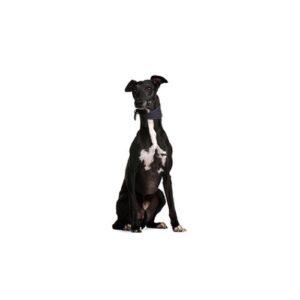 Pet City Houston Greyhound