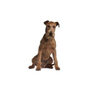 Pet City Houston Irish Terrier