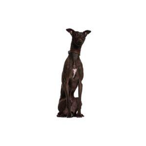 Pet City Houston Italian Greyhound