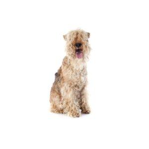 Pet City Houston Lakeland Terrier