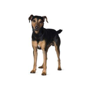 Pet City Houston Manchester Terrier