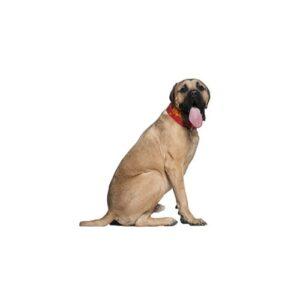 Pet City Houston Mastiff