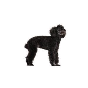 Pet City Houston Miniature Poodle