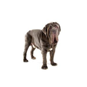 Pet City Houston Neapolitan Mastiff