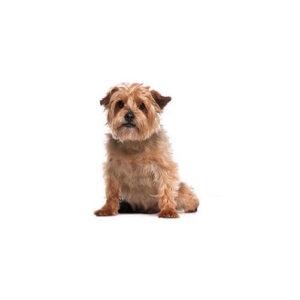 Pet City Houston Norfolk Terrier