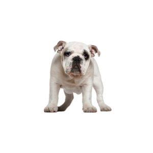 Pet City Houston Olde English Bulldogge