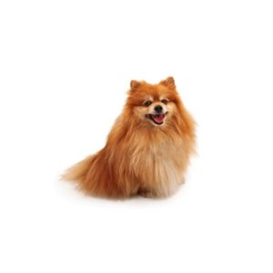 Pet City Houston Pomeranian
