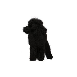 Pet City Houston Poodle