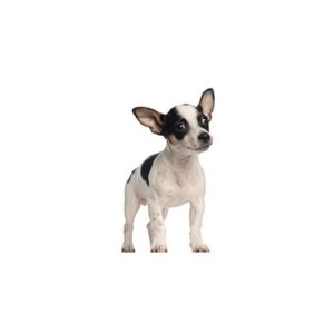 Pet City Houston Rat Terrier