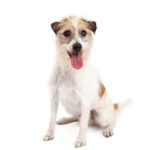Pet City Houston Jack Russel Terrier