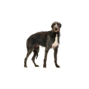 Pet City Houston Scottish Deerhound