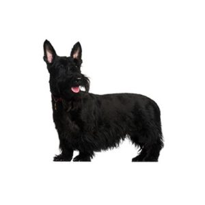 Pet City Houston Scottish Terrier