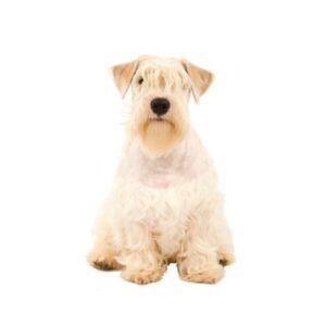 Pet City Houston Sealyham Terrier
