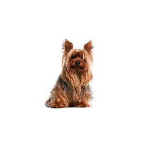 Pet City Houston Silky Terrier