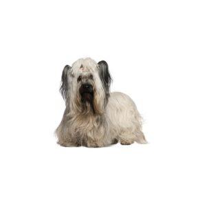 Pet City Houston Skye Terrier