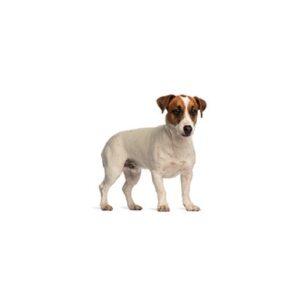 Pet City Houston Smooth Fox Terrier