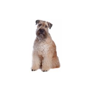 Pet City Houston Soft Coated Wheaten Terrier