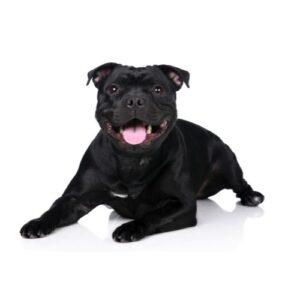 Pet City Houston Staffordshire Bull Terrier