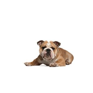 Pet City Houston Victorian Bulldog