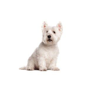 Pet City Houston West Highland Terrier