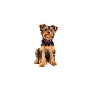 Pet City Houston Yorkshire Terrier